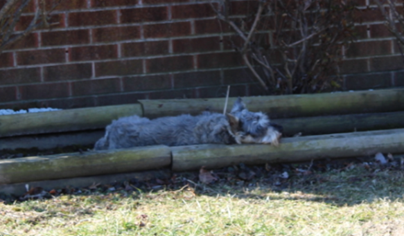 4 Year Old Zues A Miniature Schnauzer Found After Being Shot In Parsons Is Rescued